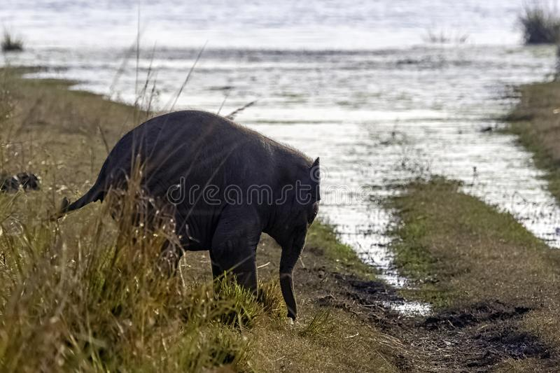 Baby Indian elephant with Ramganga Reservoir in background - Jim Corbett National Park, India royalty free stock images