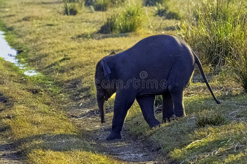 Baby Indian elephant with Ramganga Reservoir in background - Jim Corbett National Park, India royalty free stock image