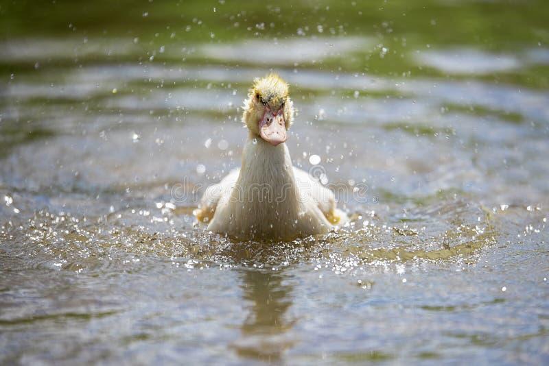 Baby indodas schwimmen am sonnigen Tag des Teichs stockbilder