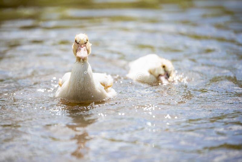 Baby indodas schwimmen am sonnigen Tag des Teichs lizenzfreie stockfotografie