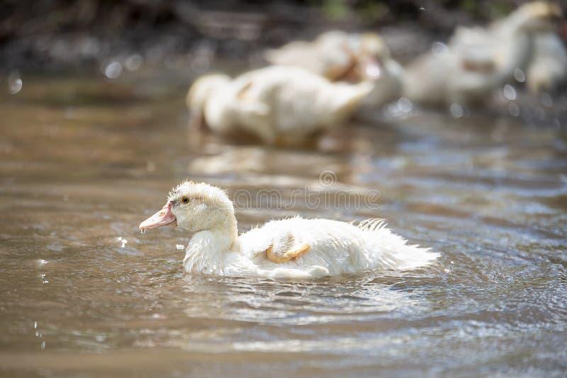 Baby indodas schwimmen am sonnigen Tag des Teichs lizenzfreie stockbilder