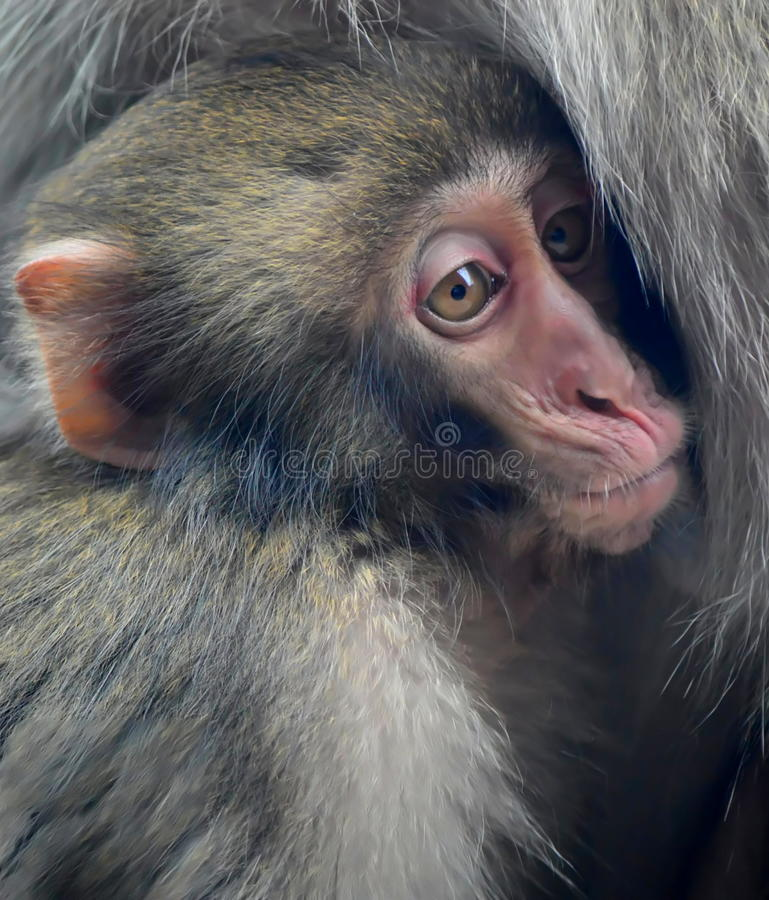 Baby Japanese macaque snow monkey. This photo was taken at Lincoln Park in Chicago , Illinois stock photos