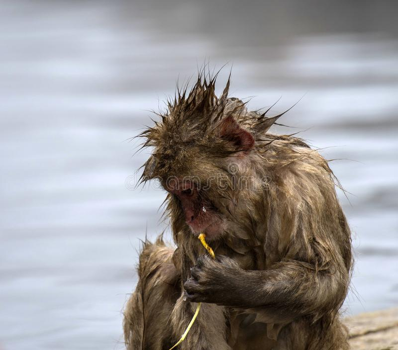 Baby Japanese macaque or snow monkeys, Macaca fuscata, sitting on rock of hot spring, just after getting out of hot spring, with. Spikey hair and chewing piece royalty free stock photos