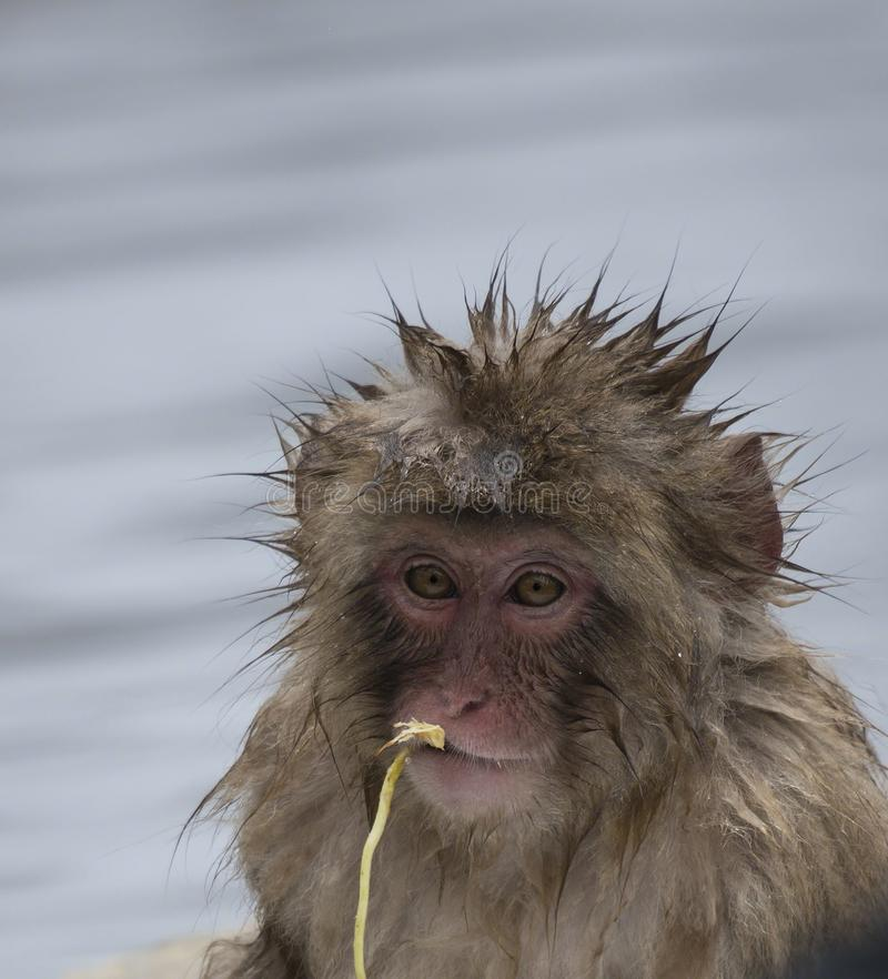 Baby Japanese macaque or snow monkeys, Macaca fuscata, sitting on rock of hot spring, with spikey hair as if bathtime, chewing. Piece of straw. Facing camera stock image
