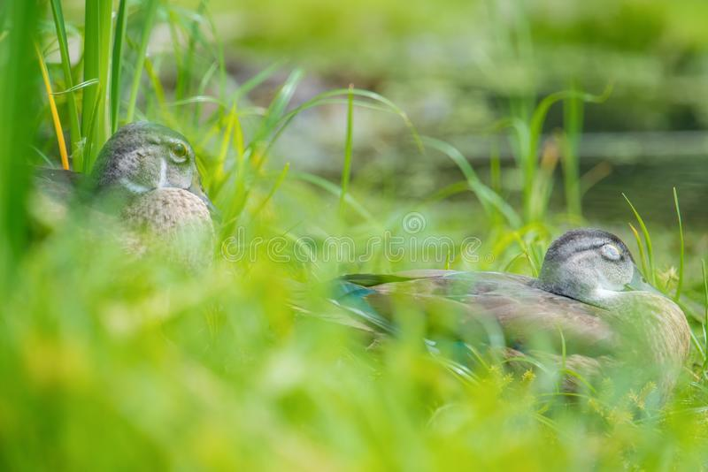 Baby / juvenile wood ducks found in the grass near floodplain waters of the Minnesota River stock photos