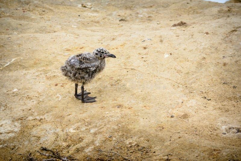 Baby-Kalifornien-Seemöwe stockbild