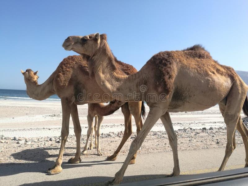 Baby-Kamelfütterung lizenzfreie stockfotos