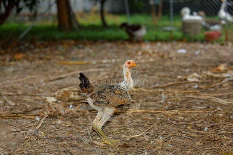 Baby-Kampfflugzeug-Ruhepause auf dem Bauernhof im Thailand lizenzfreie stockfotografie