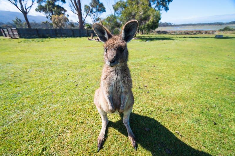 Baby kangaroo stock image