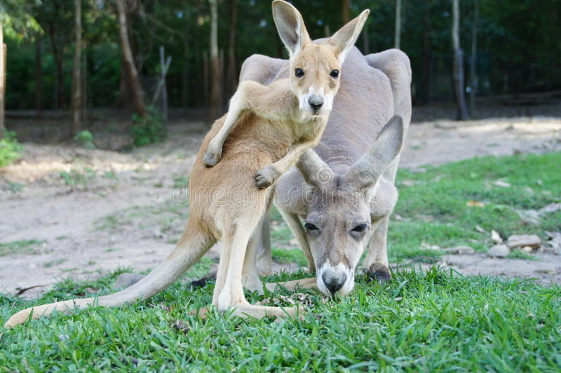 Baby kangaroo and his mother at the zoo stock photos