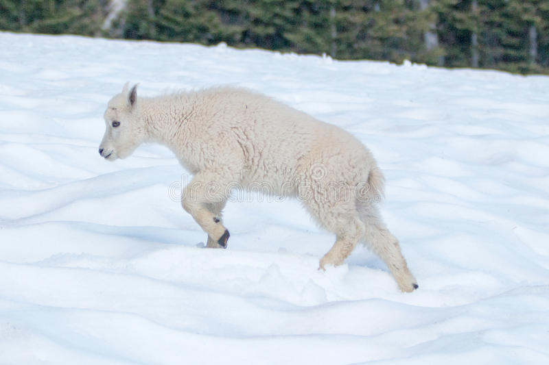 Baby Kid Mountain Goat on Hurricane Hill snowfield in Olympic National Park in northwest United States. In Washington State USA stock images