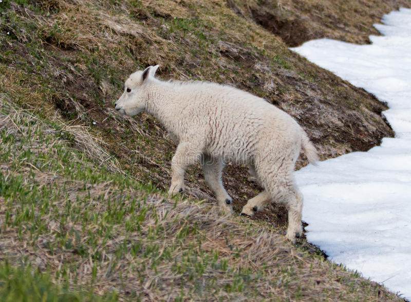 Baby Kid Mountain Goat on Hurricane Hill snowfield in Olympic National Park in northwest United States in Washington State. USA royalty free stock images