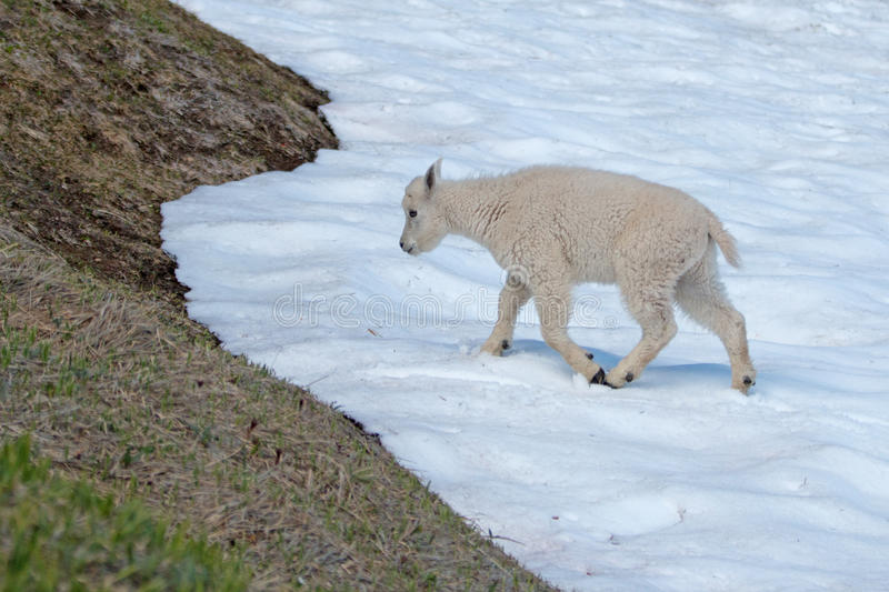 Baby Kid Mountain Goat on Hurricane Ridge snowfield in Olympic National Park in northwest United States in Washington State. USA stock photo