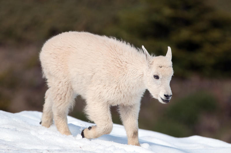 Baby Kid Mountain Goat sticking out his tongue on a Hurricane Hill showfield in Olympic National Park in Washington State. USA stock photo