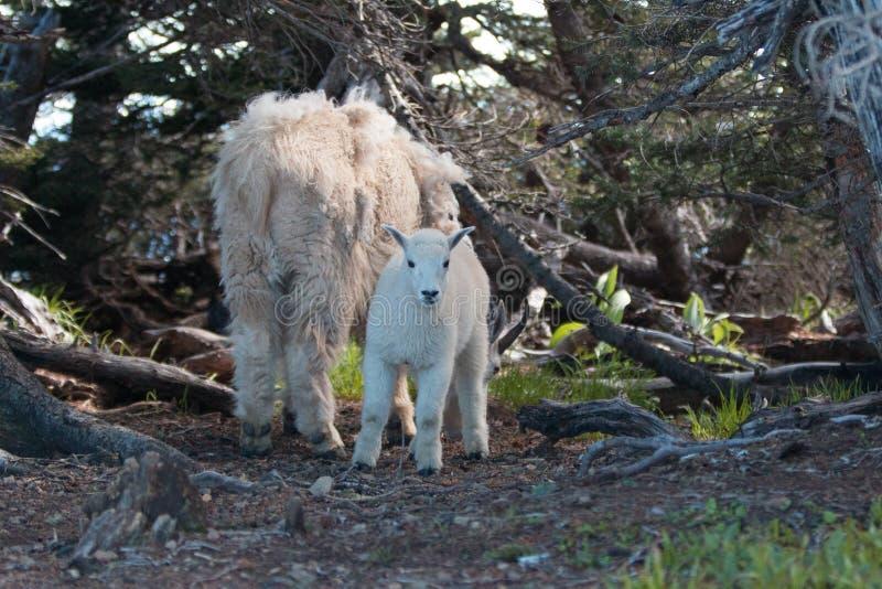 Baby-Kind und Mutter-Kindermädchen Mountain Goats unter den Sträuchen auf Hurrikan-Hügel im olympischen Nationalpark in Washingto lizenzfreies stockfoto