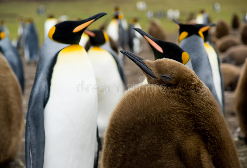 Download Baby King Penguin stock photo. Image of islands, colony - 7036086