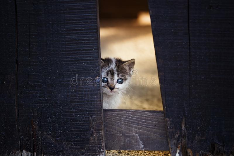 Baby kitten hiding behind wooden fence. Looking at camera stock photos