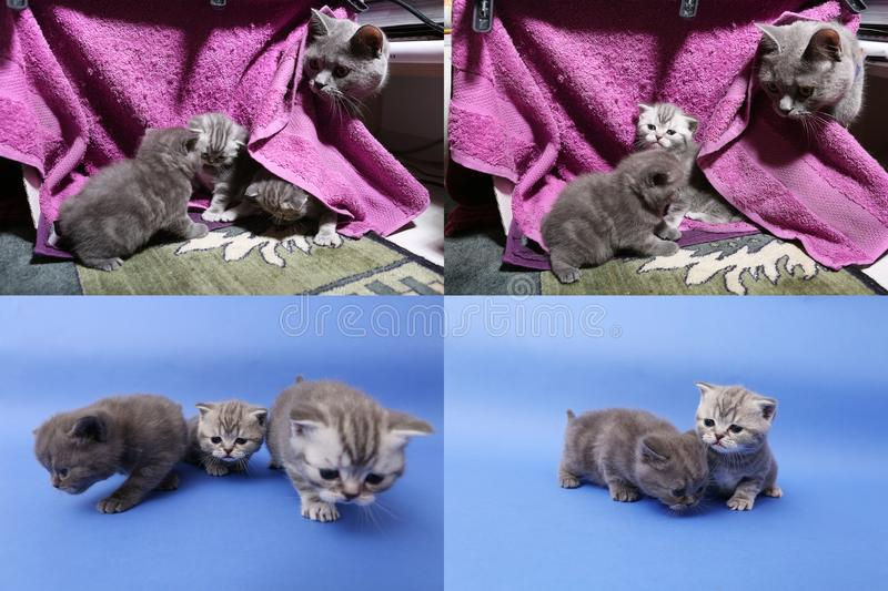 Baby kittens playing on mauve background, multicam royalty free stock photography