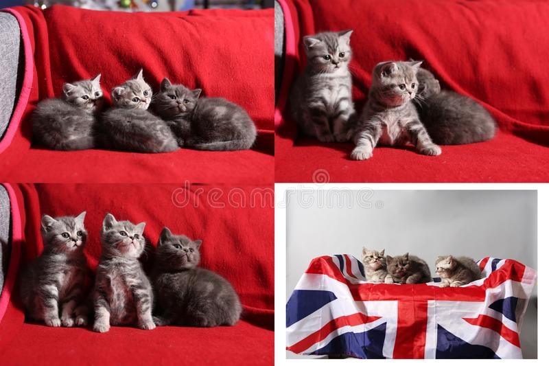 Baby kittens playing on red background, multicam royalty free stock photo