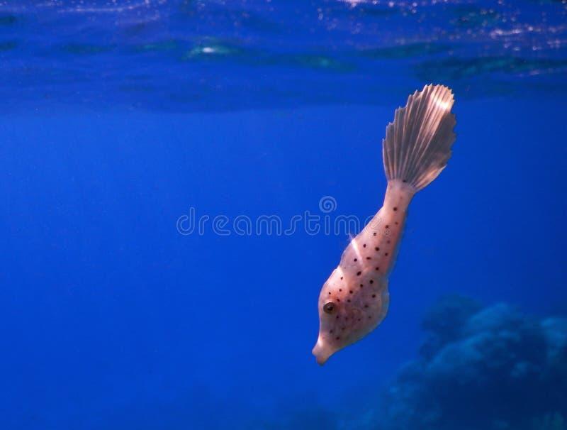 Baby klottrade filefishen arkivbild