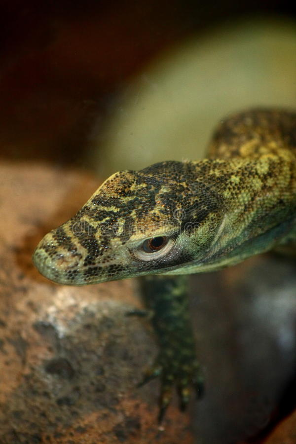 Baby Komodo. The Komodo dragon (Varanus komodoensis) is a species of lizard that inhabits the islands of Komodo, Rinca, Flores, and Gili Motang in Indonesia. A royalty free stock photo