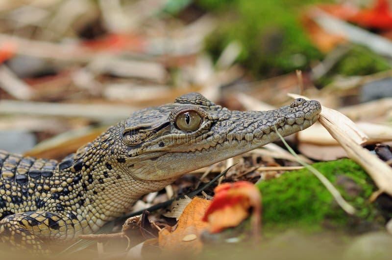 Baby-Krokodil, das am Park sunbating ist lizenzfreie stockfotografie