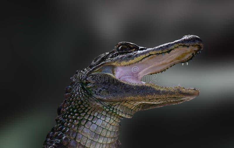 Baby Krokodilleportret stock foto's