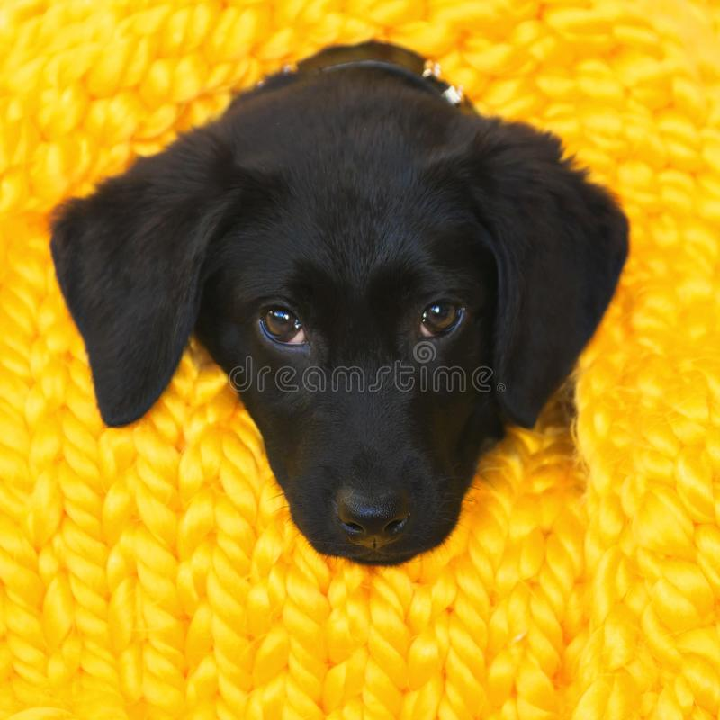 Baby Labrador Retriever dog wrapped in a yellow warm knitted blanket royalty free stock photo