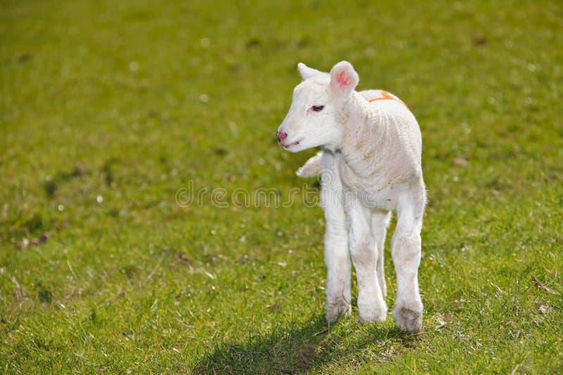 Baby lamb stock photography