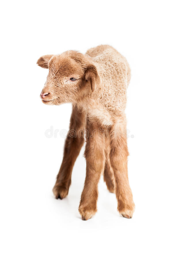 Baby lamb isolated on white background stock photo