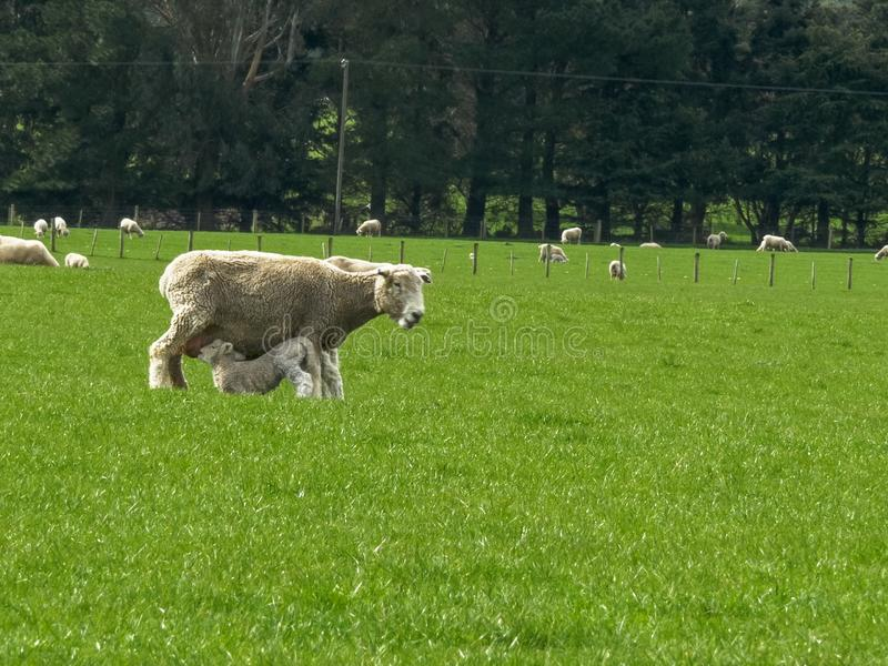Baby lamb in new zealand feeds from its mother royalty free stock photography