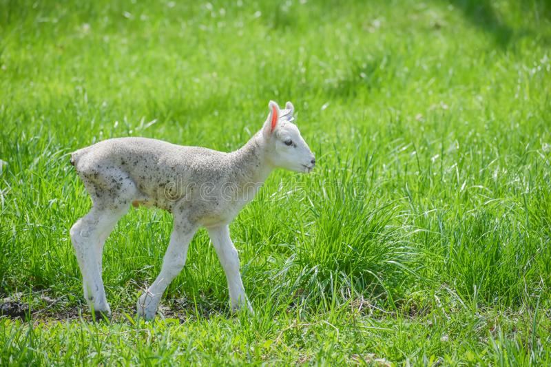 Baby Lamb in Pasture Alone royalty free stock photography