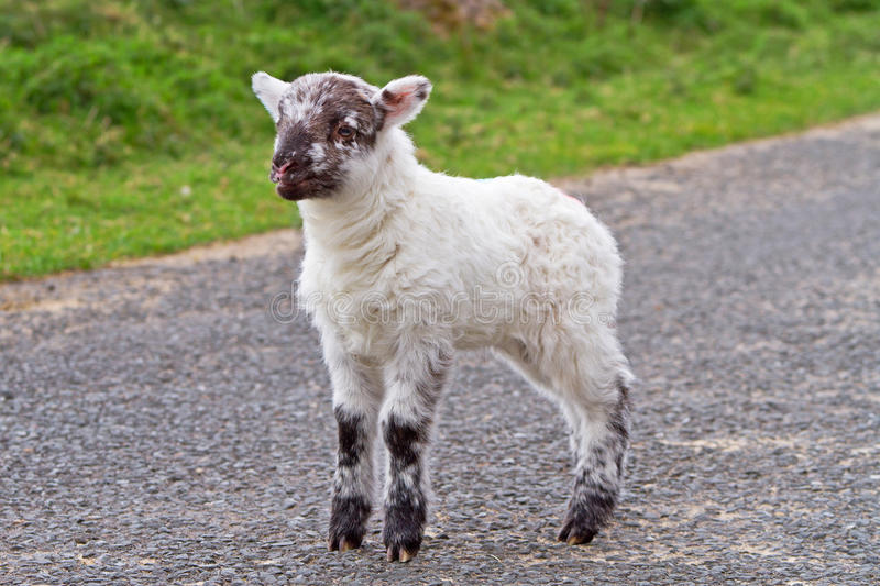 Baby lamb on the road royalty free stock images