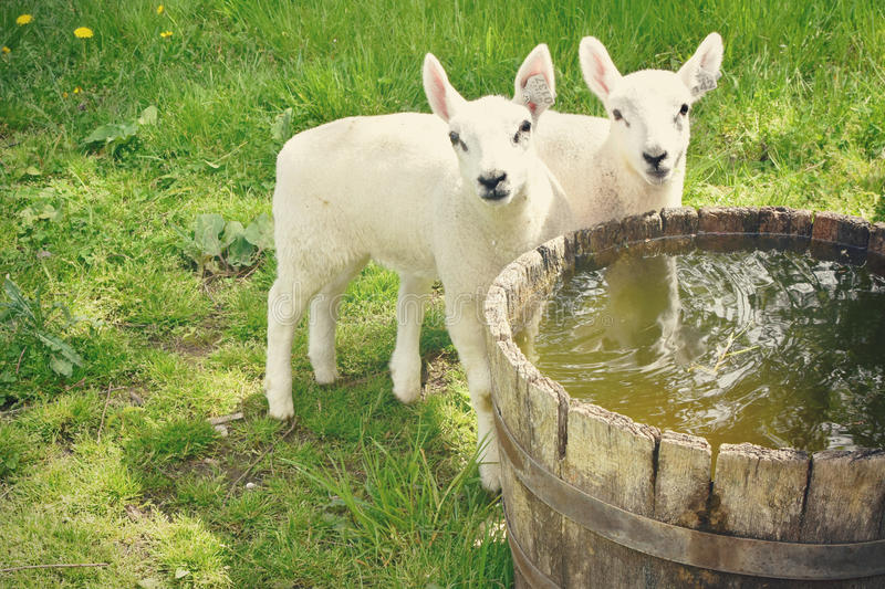 Baby Lambs stock images