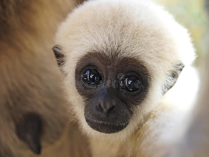 A baby lar gibbon has just digressed from sucking his mother and is looking at camera. A baby lar gibbon ape, Hylobates lar. has switched off from sucking his stock images