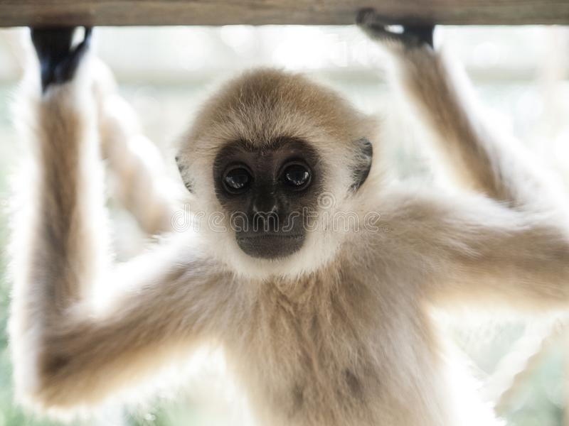 A baby lar gibbon with his hands up is looking at camera. A baby lar gibbon ape, Hylobates lar, has rose his hands and is looking at camera. A young monkey has stock photography