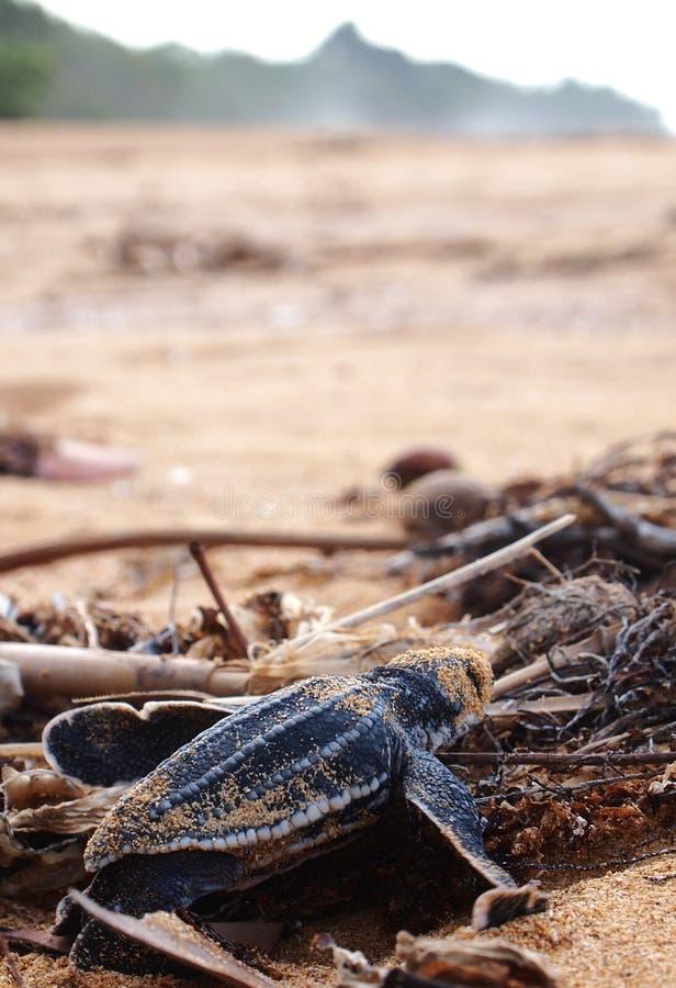 Baby leatherback schildpad royalty-vrije stock foto's