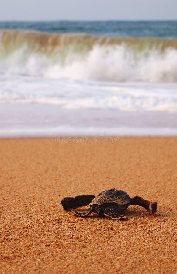 Baby leatherback schildpad stock foto
