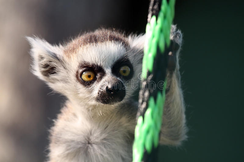 Baby Lemur. Baby Ringtailed Lemur against a blurred background stock photo