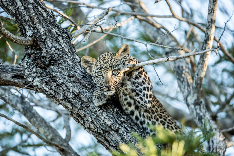 Baby Leopard Hanging in a Tree royalty free stock images