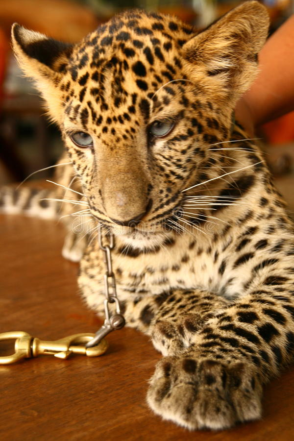 Baby Leopard royalty free stock image