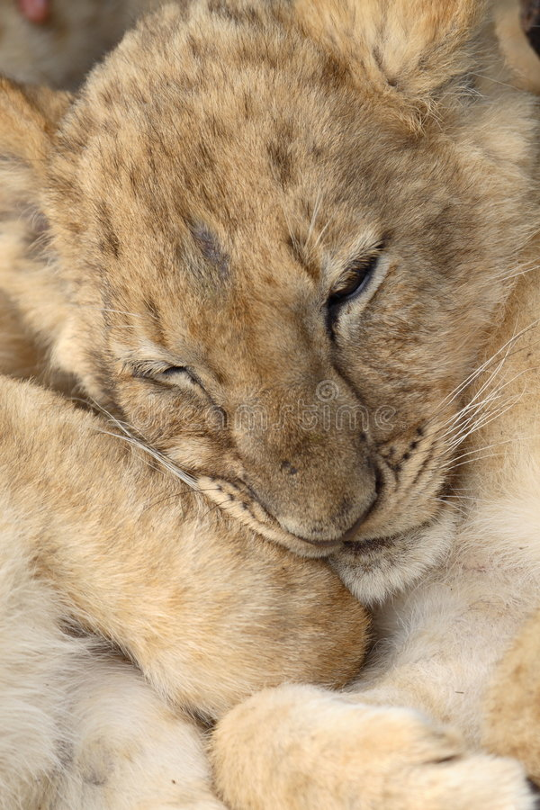 Baby lion royalty free stock photography