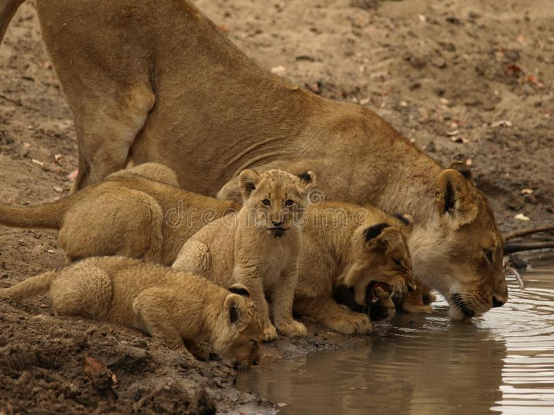 Baby Lion drinking. With mud on his face in Africa noticing the camera while family continues to drink royalty free stock photos