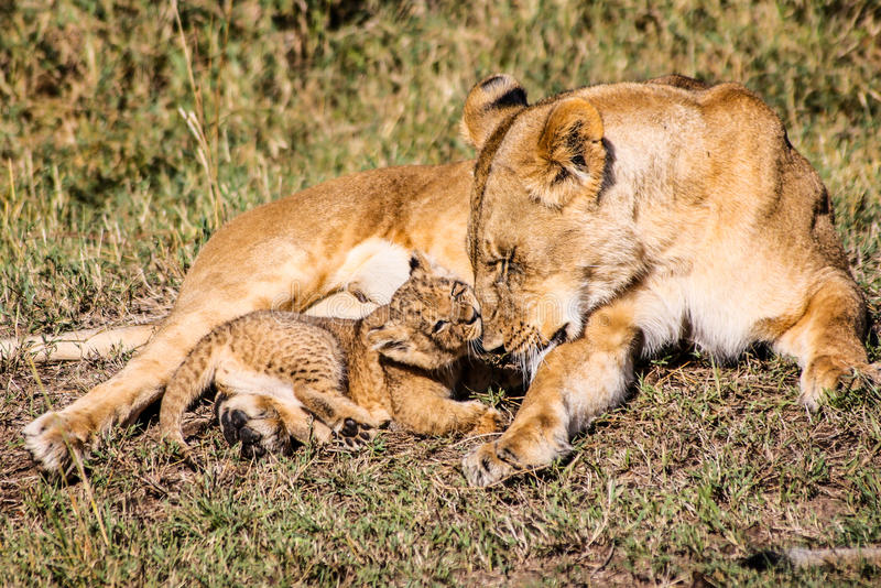 Baby lion with mother stock images