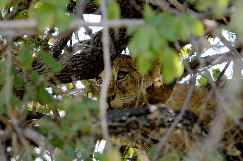 Baby lion resting on a tree in Ruaha National Park, Tanzania stock photography