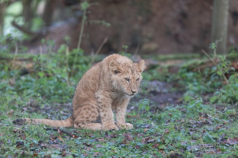 Baby Lion waiting in the meadow royalty free stock photo