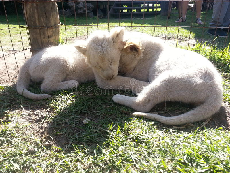 Baby lions. 2 months old South africa lion park royalty free stock images