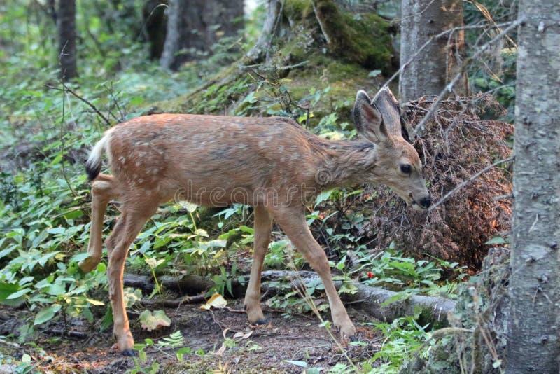 Baby lismar mulahjortar i Rocky Mountains i den västra USA royaltyfria bilder