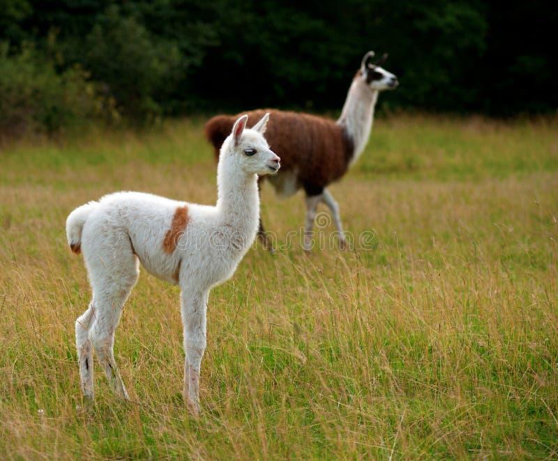 Baby llama stock photo