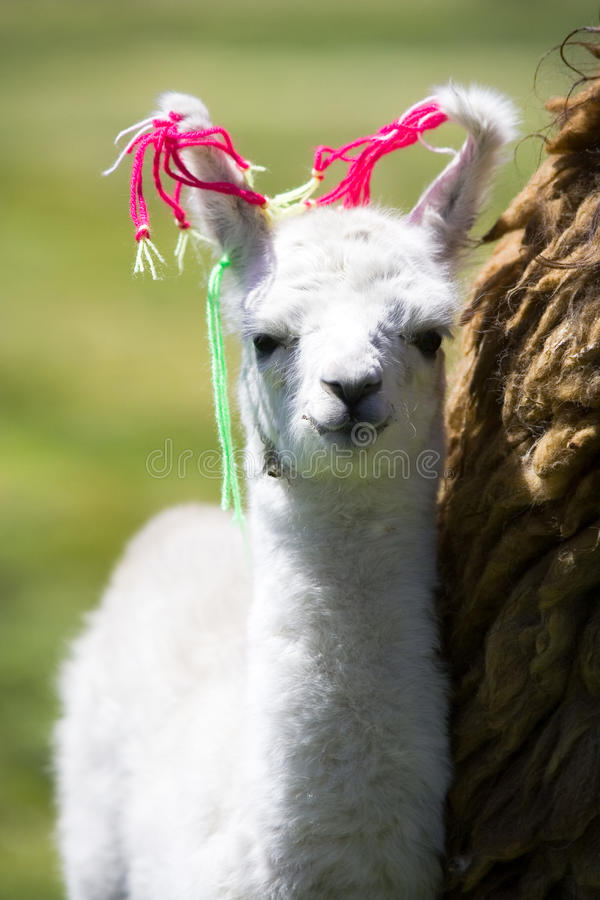 Baby Llama, Bolivia royalty free stock photos